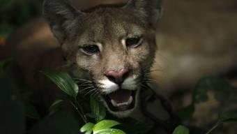 Polizei jagt einen Puma (Symbolbild)