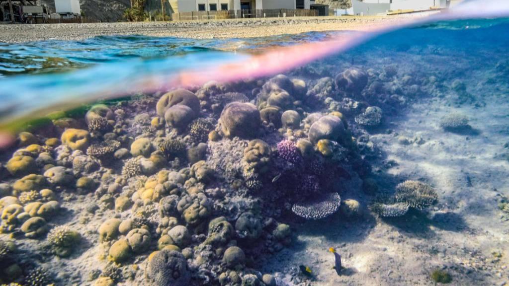 Korallen im Golf von Akaba und im nördlichen Roten Meer besitzen eine aussergewöhnliche Widerstandsfähigkeit gegen Hitzestress.