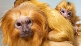 Doppelter Nachwuchs bei den seltenen Goldgelben Löwenäffchen im Zoo Zürich.