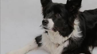 Ein Border Collie wartet auf das Signal, bevor er ein Leckerli essen darf. Unter anderem mit diesem Test bestimmten die Wissenschaftler die Impulskontrolle der Hunde.
