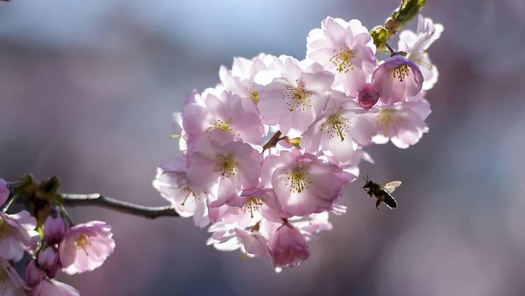 Im Mai blühen Obstbäume und Wiesen im Schweizer Mittelland. Wegen der schlechten Witterung im Mai 2019 konnten die Bienen jedoch nicht genug Nektar sammeln. (Archivbild)