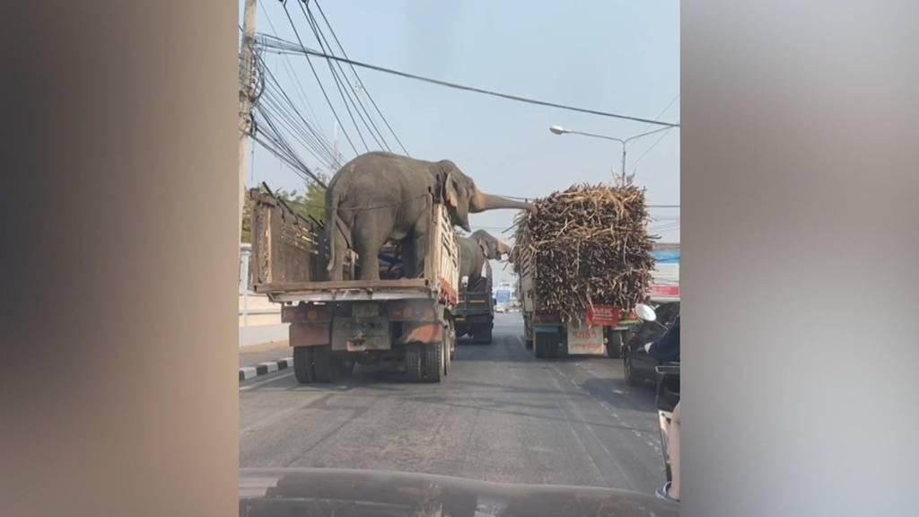 Zwischenverpflegung an der Ampel: Elefanten klauen Zuckerrohr