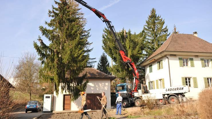 """Im Zentrum von Matzendorf wurden hinter dem alten Schulhaus drei Tannen mit Hilfe eines Krans """"gefaellt"""", da sie zu nahe am Gebaeude stehen. Ihr Alter war auf maximal 100 Jahre geschaetzt, es stellte sich aber heraus, dass sie nur 41 Jahre alt waren."""