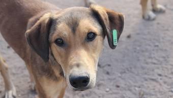 Ein von der Stiftung geimpfter Hund am Strand von Taghazout.