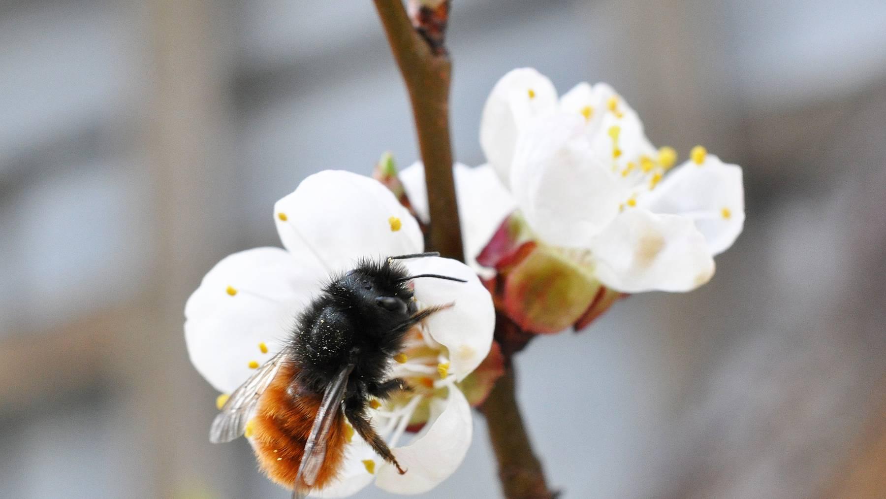 Die über 600 Wildbienenarten der Schweiz tragen viel zum Ertrag der Schweizer Landwirtschaft bei.