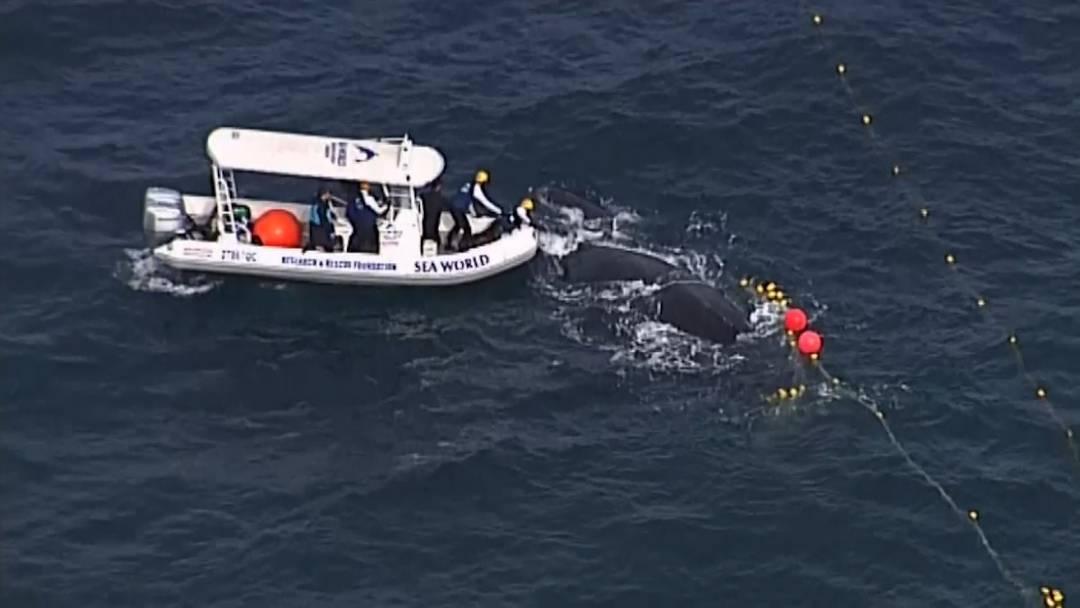 Befreiungsaktion: Wal mit Kalb in Netz verheddert