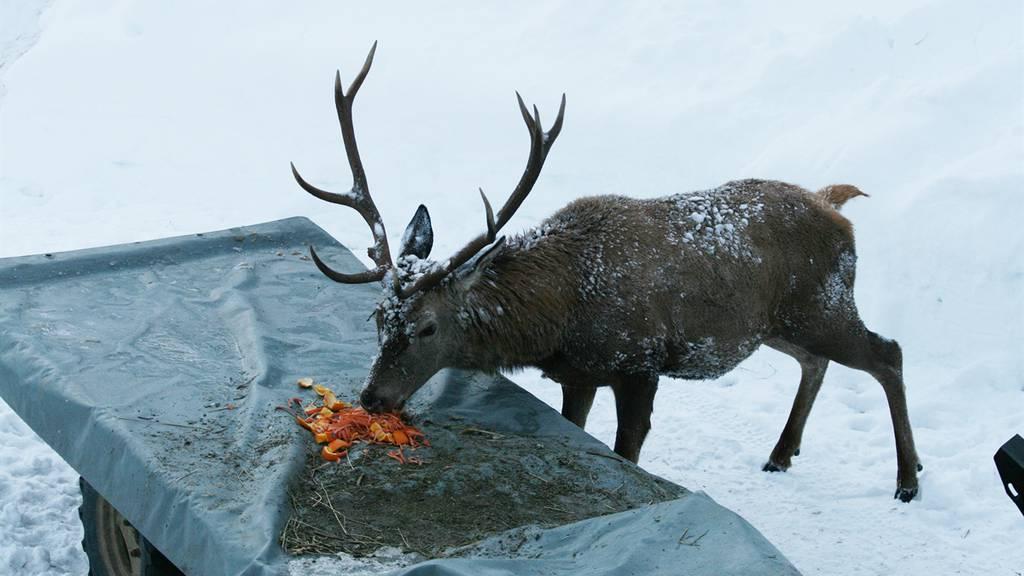 Hirsch mit sechs Kilo Plastik im Bauch erlegt