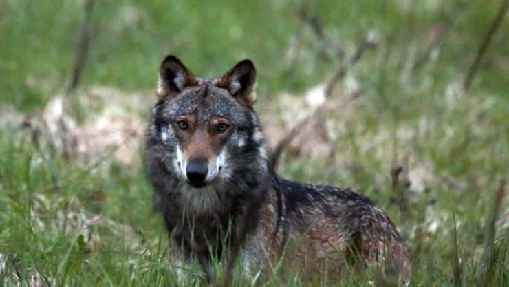 Die Debatte um den Wolf geht weiter, denn zur vom Parlament gutgeheissenen Revision des Jagdgesetzes ist das Referendum schon angekündigt. (Archivbild)