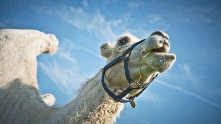 Ein Kamel aus der Froschperspektive