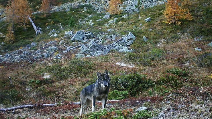 Paarungen zwischen Wolf und Hund mit Nachwuchs scheinen in den Schweizer Alpen kaum vorzukommen. Unter den drei bekannten Wolfsrudeln gibt es einer Studie zufolge keine Mischlinge. (Archivbild)