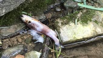 Tote Fische im Gipsbach in Ehrendingen.