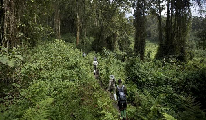 Der Weg zu den Berggorillas führt durch den üppigen, oft nebligen Regenwald des Nationalparks Virunga.