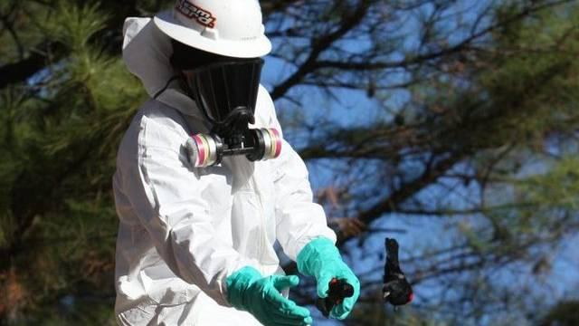Ein Behördenmitarbeiter sammelt nach dem massenhaften Vogelsterben die tote Tiere ein.