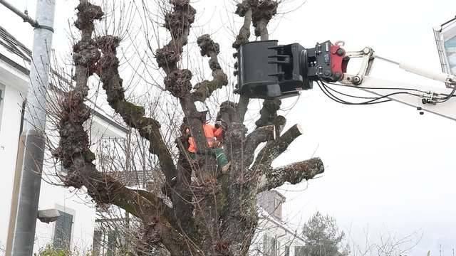 In Biel werden alte Bäume gefällt