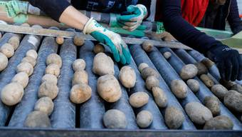 Kartoffeln Sortieren auf dem Biohof Küttigkofen