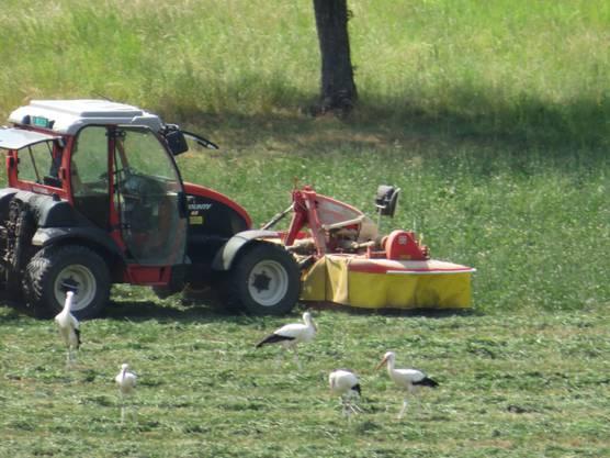 Der Bauer vom Schillingsrain ist bemüht, dass die Wiesen werden gemäht.  Und die Störche sind die Gäste.