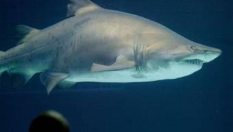 Ein Sandtigerhai schamm auf eine Taucher-Gruppe zu und schnappte nach den Beinen einer Taucherin. (Symbolbild)