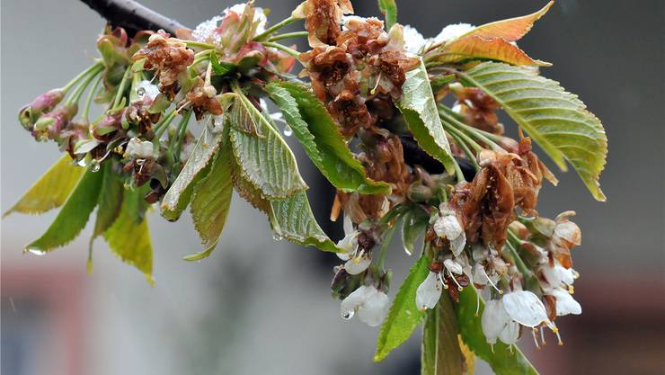 Verheerende Folgen der Frostnächte im April: Viele Kirschblüten und Triebe von Weintrauben erfroren. Picasa