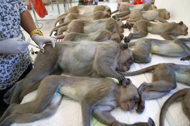 Betäubte Affen beim Tierarzt. Mindestens 500 Tiere will die Regierung sterilisieren lassen.