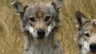 Eine Gen-Analyse soll Gewissheit bringen, ob in Graubünden ein zweites Wolfspaar Junge bekommen hat. (Symbolbild)