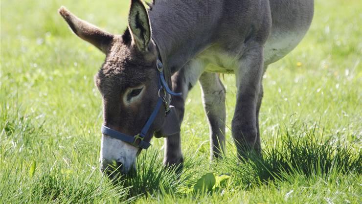 Bleibt der Esel länger als eine Viertelstunde auf der Weide, droht er sich zu überfressen.