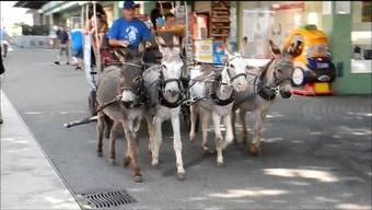 Am Markt vom Freitag konnten die Kinder eine besondere Attraktion geniessen. Jacob Geiser vom Verein «Ami des ânes» war mit seinem Eselswagen und vier Tieren nach Grenchen gereist, um die Tiere der Bevölkerung näherzubringen und um im Auftrag der Marktfahrer einen zusätzlichen Anziehungspunkt zu bieten.