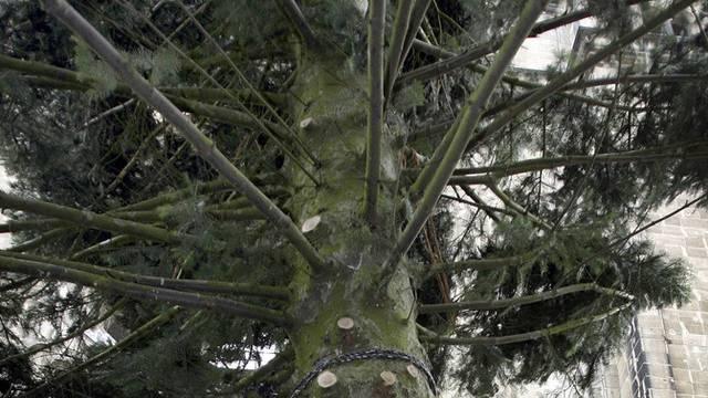 Teil einer Douglasie, die als Weihnachtsbaum vorbereitet wird (Archiv)