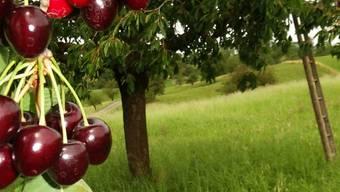 Fricktaler Kirschen von Hochstammbäumen sind ein Genuss. chr