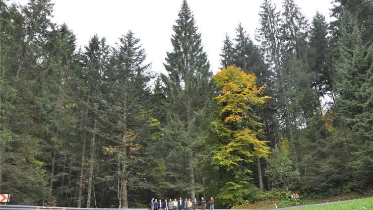 Ein Riese unter den Bäumen: Frankfurter und Basler Tourismusvertreter wählen in Kirchzarten bei Freiburg den offiziellen Frankfurter Weihnachtsbaum aus.