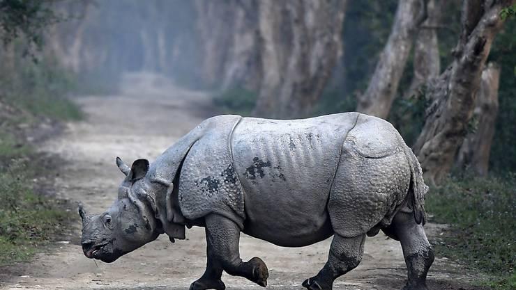 Die schweren Monsun-Unwetter im Nordosten Indiens bei denen schon mehr als 200 Menschen umgekommen sind, setzen auch der Tierwelt zu. Mindestens zwölf der seltenen Panzernashörner des Kaziranga-Nationalparks sind ertrunken. (Archivbild)