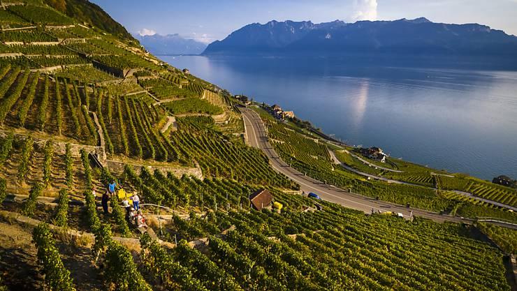 Weltweit wird mehr Wein hergestellt: Traubenernte im Kanton Waadt (Archivbild).