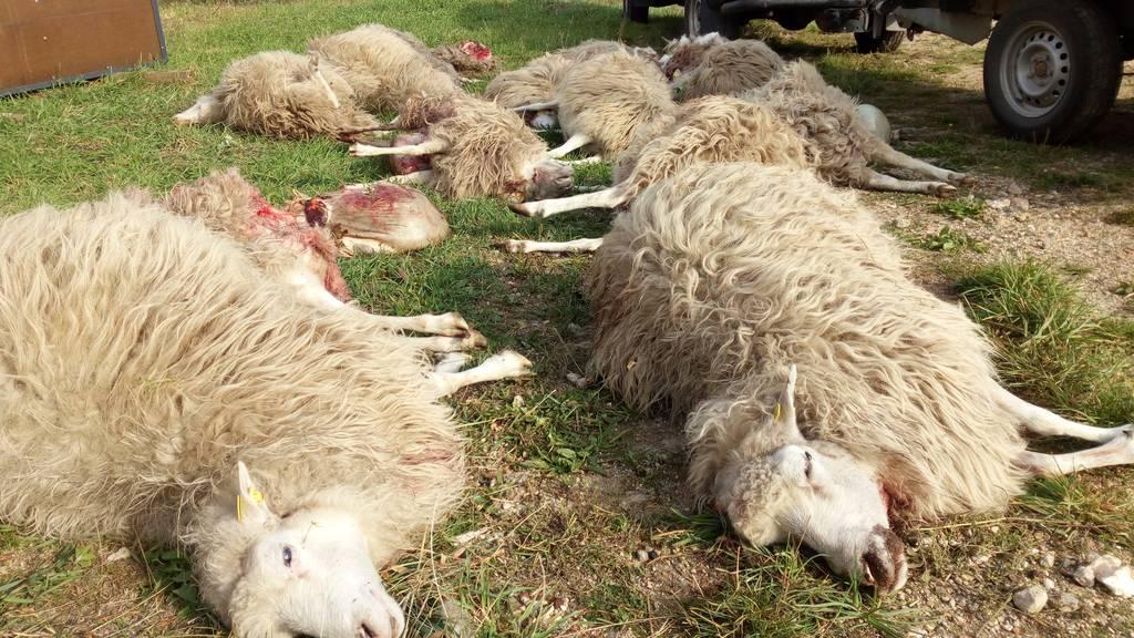 Hund reisst sechs Schafe – Schaden von über tausend Franken