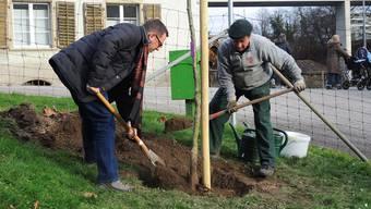 Peter Steinauer (Geschäftsführer SKK Landschaftsarchitekten) und Klostergärtner Fabian Meier (v. l.) setzen die Wettinger Holzbirne auf dem Klostergelände. ssu