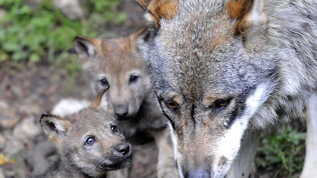 Die Gruppe Wolf Schweiz sieht die Ursache für die wachsende Wolfspopulation in der Schweiz  in der hohen Wilddichte hierzulande. (Archivbild)