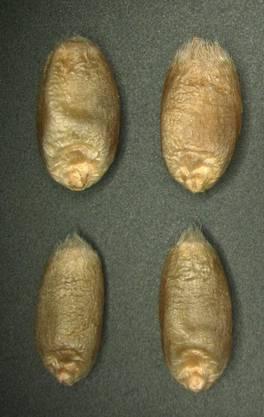 Die Körner der gentechnisch veränderten Winterweizen sind dicker (oben), als jene der unveränderten Pflanzen (unten).