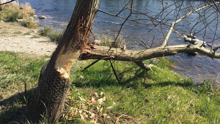 <p>Damit die Bäume nicht gänzlich durch den Biber gefällt werden, wurden sie mit Draht geschützt.</p>