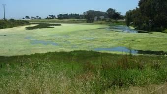 Wegen überschüssiger Nährstoffe aus der Landwirtschaft wuchert ein grüner Algenteppich auf dem Feuchtgebiet Elkhorn Slough in Kalifornien