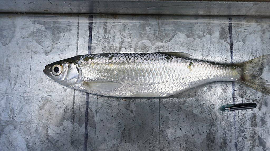 Fische sollen mit Funk-Chips Reparaturen checken