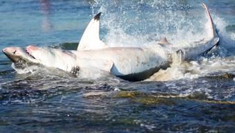 Der Weisse Hai zappelte heftig an der Küste und verendete schliesslich
