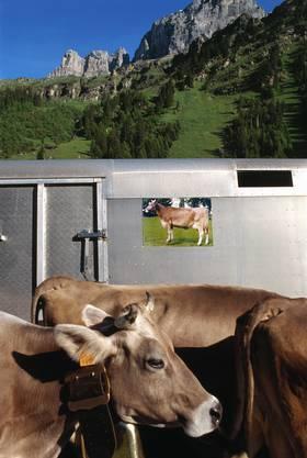 Während des Alpaufzug der Familie Kempf auf den Urnerboden, im Kanton Uri, aufgenommen im Juni 2002, kommen die Kühe an einem Viehwagen vorbei.
