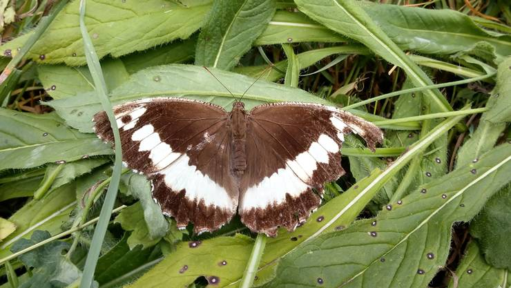 «Anhand der fahlen Farbe und des verletzten Flügels sieht man, dass es kein Jungtier mehr ist», sagt Franz Hottinger über den «Weissen Waldportier», den er in Zuzgen fotografiert hat.