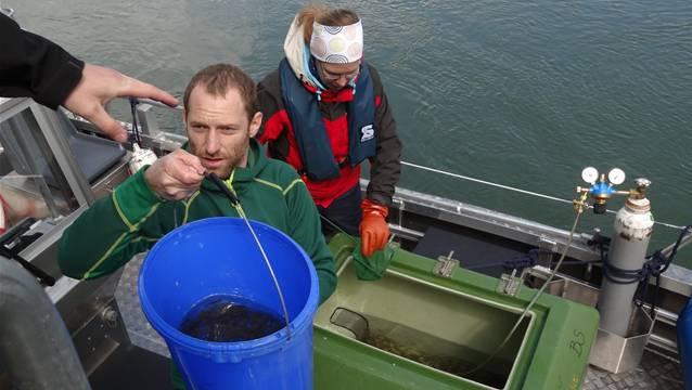 Der Biologe David Bittner im Polizeiboot «BS 1» reicht einem Helfer an Land einen Kessel voller Junglachse. – Foto: chr