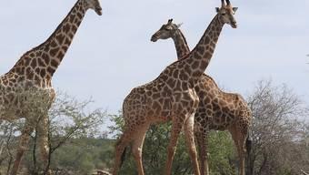 Neu wird der internationale Handel mit Giraffen, sowie ihrem Fleisch, Leder und Jagdtrophäen reguliert.