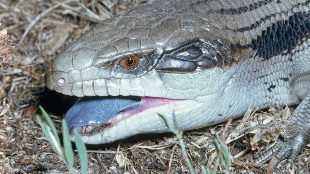 Wenn sie angegriffen werden, blähen sie sich auf, reissen das Maul auf und zeigen die Zunge: Blauzungen Skinke. (Archivbild)
