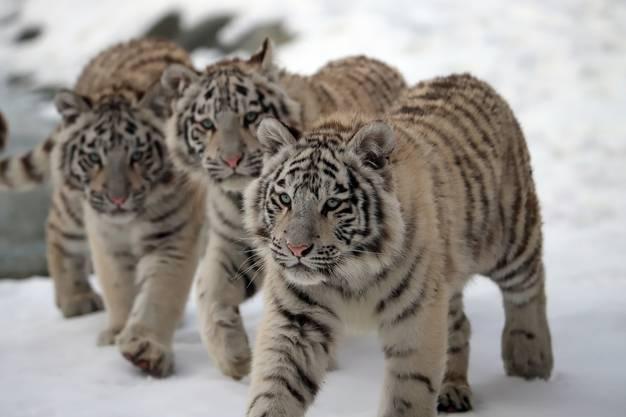 Die drei weissen Tiger erleben ihren ersten Winter im Sikypark