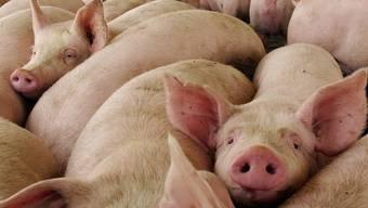 1200 Schweine mussten geschlachtet werden (Symbolbild)