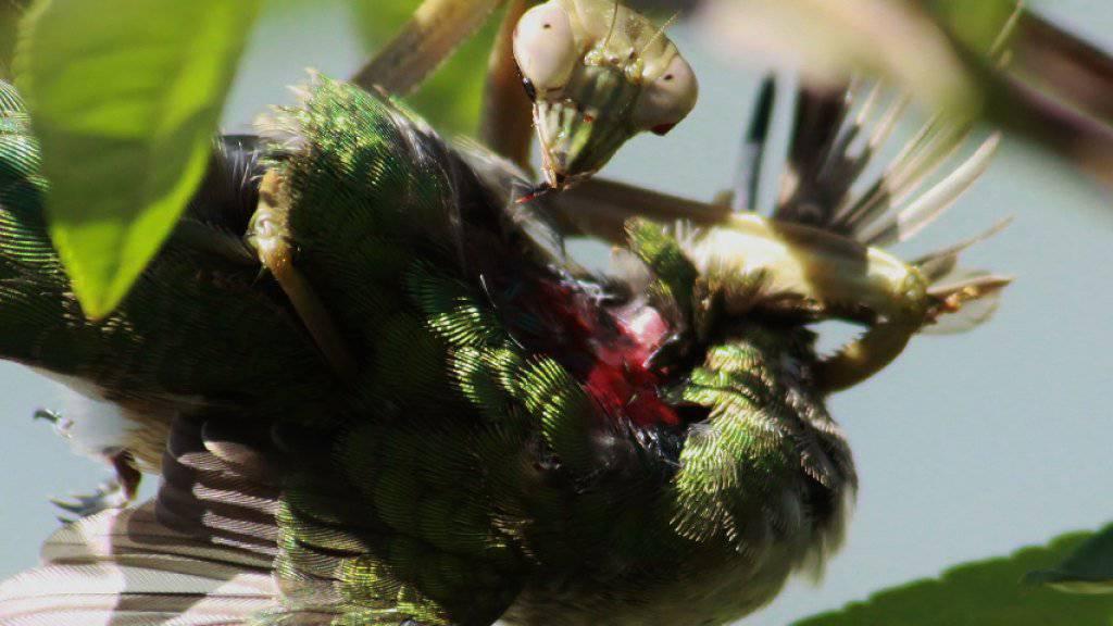 Eine Gottesanbeterin (Tenodera sinensis) mit einem Rubinkehlkolibri als Beute.