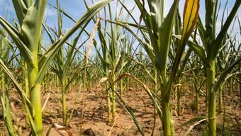 Auch bei der Produktion von Biokunststoff aus Mais wird Erdöl verbraucht.