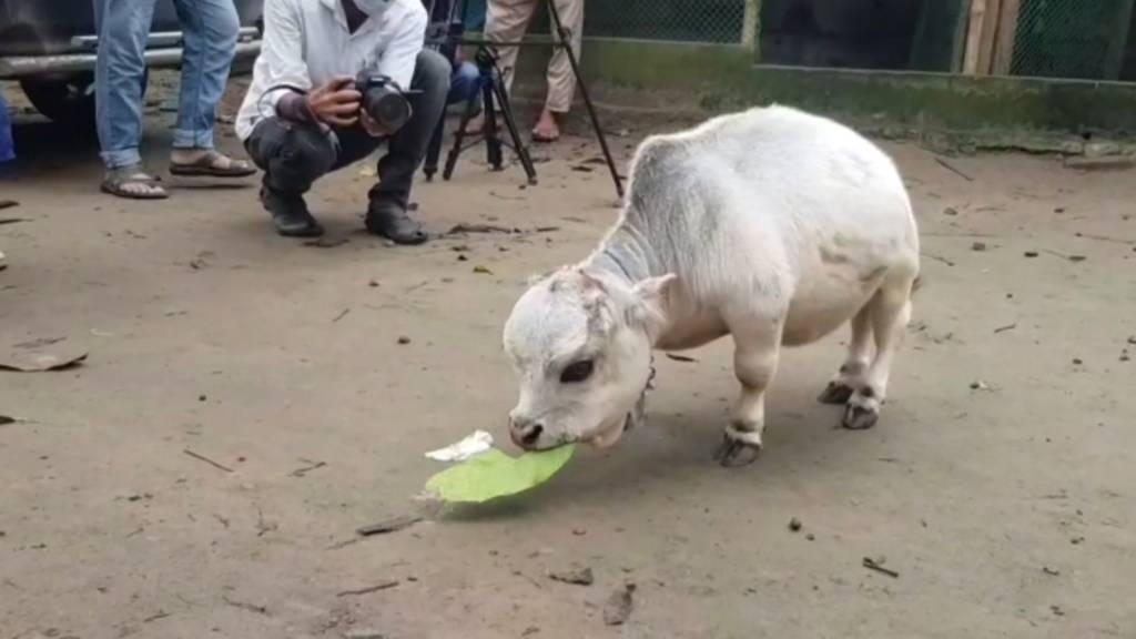 Das ist die wohl kleinste Kuh der Welt