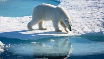Ein Eisbär auf arktischem Meereis. Die meisten von ihnen halte sich das ganze Jahr über an den Küsten oder auf dem Meereis auf, um dort Robben zu jagen.